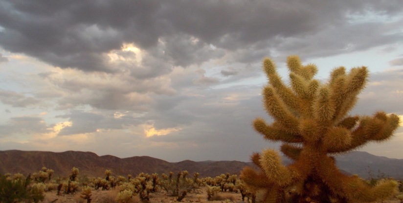A desert story about the teddy bear cholla (warning: it's not cute atall…)