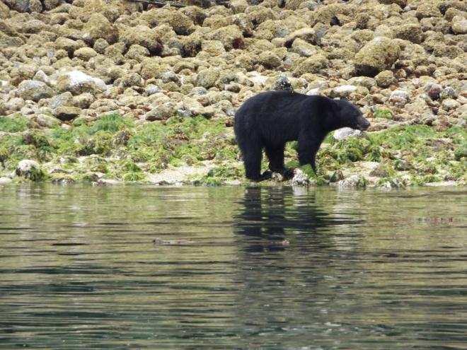 A West Coast bear