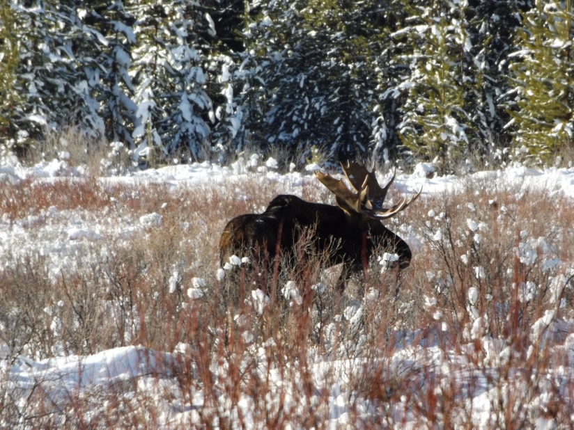 The Moose Meadow Moose! (Animalmagic…)